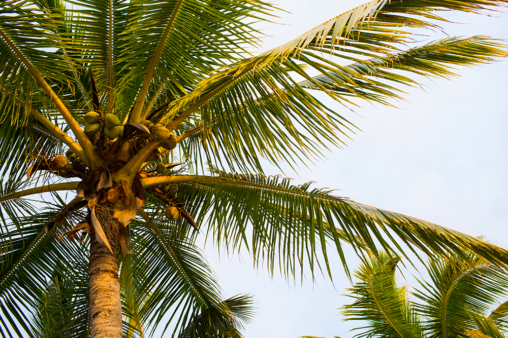 Coconut tree Fiji