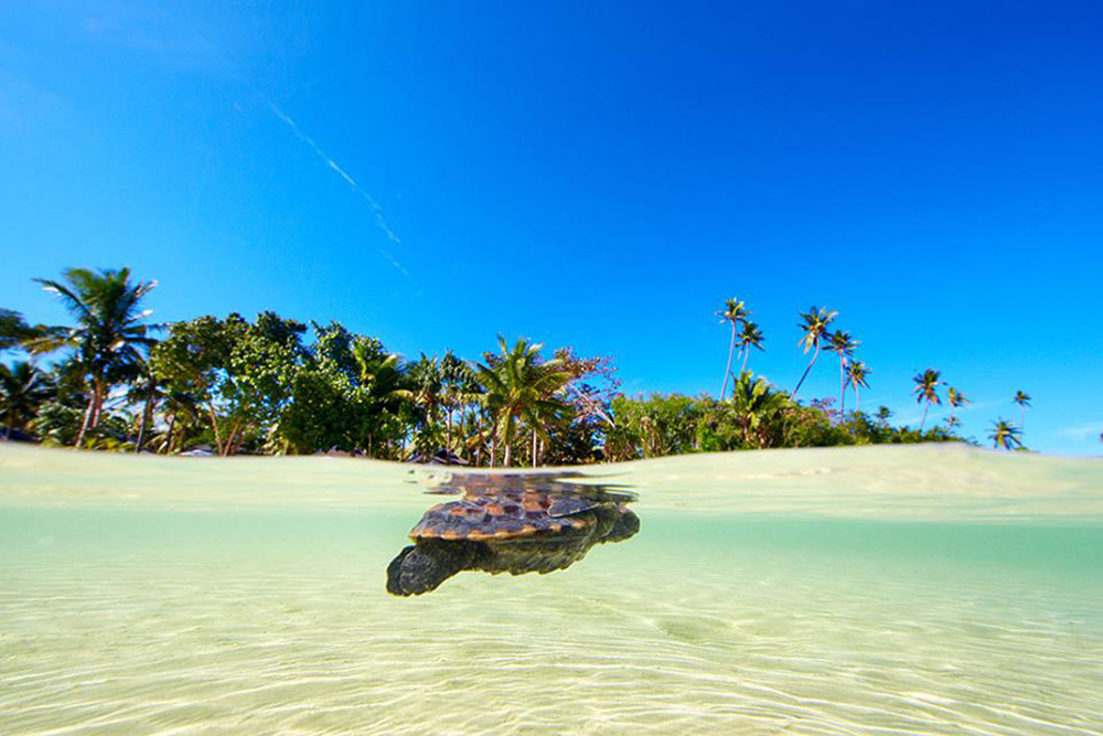 Sea Turtle Fiji